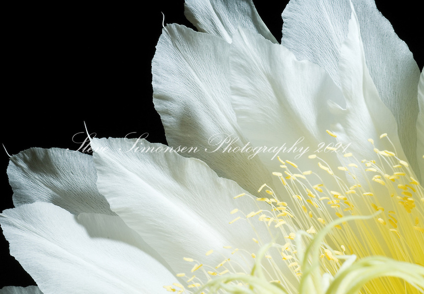 Night Blooming Cirrus Night Blooming Cereus
