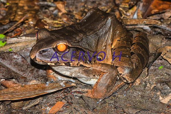 Leptodactylus pentadactylus (Laurenti, 1768)<br /> .<br /> .<br /> Imagem feita em 2017 durante expedi&ccedil;&atilde;o cient&iacute;fica para a regi&atilde;o do Lago Tef&eacute;, Tef&eacute;, Amazonas, Brasil. A expedi&ccedil;&atilde;o, financiada pelo  Conselho Nacional de Desenvolvimento Cient&iacute;fico e Tecnol&oacute;gico, teve o abjetivo de reencontrar esp&eacute;cies de anf&iacute;bios descritas pelo explorador Johann Baptist von Spix no ano de 1824.
