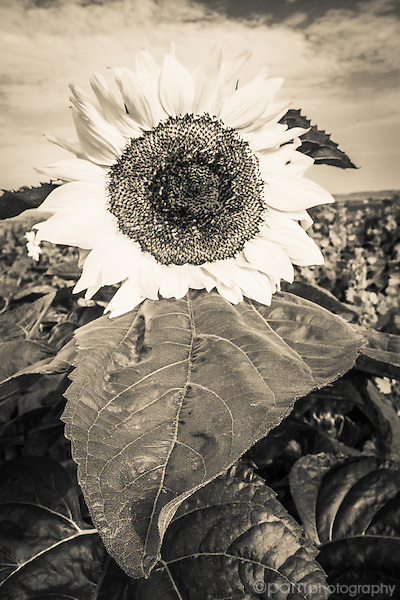 Black and white image of sunflower in field of sunflowers