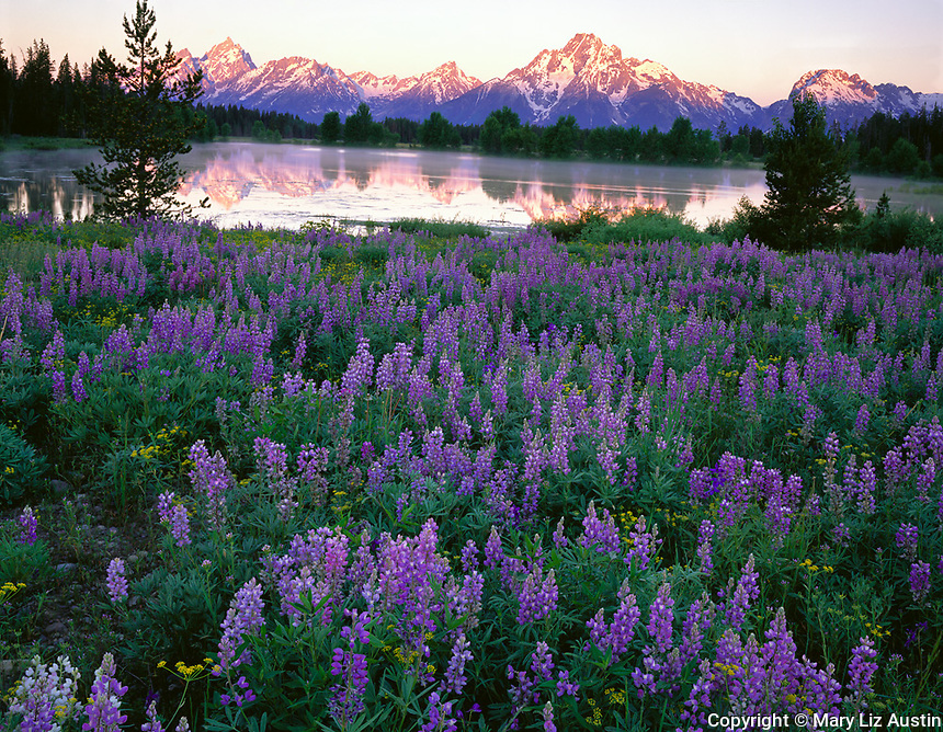 Grand Teton National Park, WY<br /> A field of Silvery lupine (Lupinus argenteus) with Mt. Moran and Teton range reflected in pond at sunrise