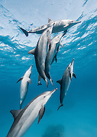 RZ0560-Dr. Spinner Dolphins (Stenella longirostris), pod swimming together in shallow water near offshore coral reef. Highly variable in appearance, scientists currently recognize four subspecies, often found in large groups. Egypt, Red Sea.<br /> Photo Copyright &copy; Brandon Cole. All rights reserved worldwide.  www.brandoncole.com