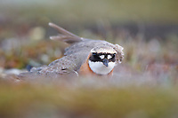Male Lesser Sand Plover (Charadrius mongolus) performing a distraction display near its nest. Chukotka, Russia. June.