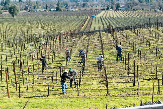 Pruning cabernet vineyard in St. Helena