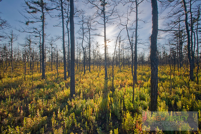 Pine Barren Forest, recovering from a wildfire, Warren Grove, New Jersey