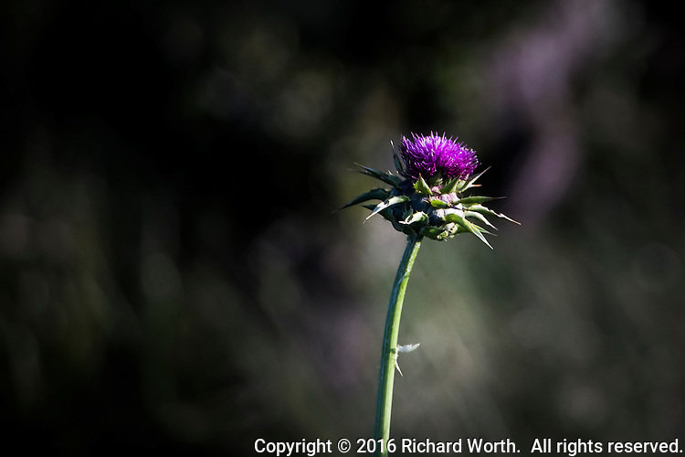 The purple flower of a Bull thistle atop its green and spikey pod and stem against a soft background with room for text.