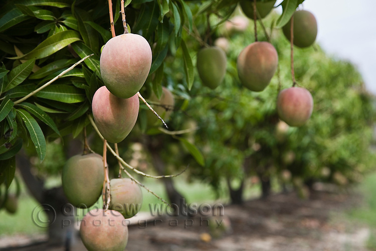 From the Source photo shoot - Honey Gold Mangoes