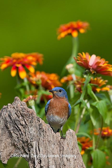 01377-17020 Eastern Bluebird (Sialia sialis) male on fence post near flower garden, Holmes Co., MS