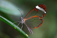 Glass Wing Butterfly (Greta oto), south american butterfly