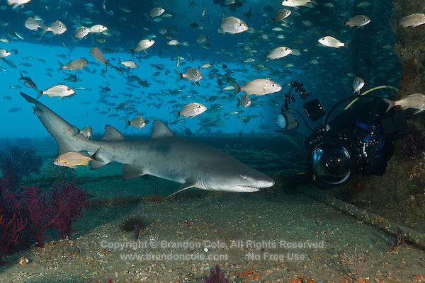 TP0127-D. Sand Tiger Shark (Carcharias taurus) swims close to scuba diver with underwater camera inside the wreck of the Aeolus. This shark also known as Gray Nurse Shark and Ragged-tooth shark. Previously classified as Eugomphodus taurus and Odontaspis taurus. North Carolina, USA, Atlantic Ocean.<br /> Photo Copyright &copy; Brandon Cole. All rights reserved worldwide.  www.brandoncole.com