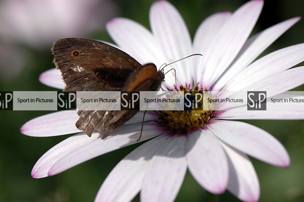 A Meadow Brown butterfly feeding on an Osteospumum