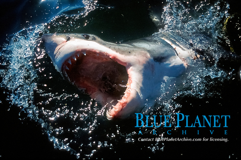 great white shark, Carcharodon carcharias, lunging for bait with jaws open, Dyer Island, Gansbaai, Western Cape, South Africa