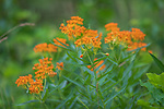 Butterfly weed growing on the roadside in northern Wisconsin.