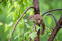 American red squirrel, Tamiasciurus hudsonicus, on maple tree, Nova Scotia, Canada