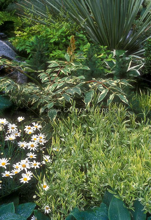 Variegated plant garden with Leucanthemum shasta daisies, blue hostas, variegated hosta,