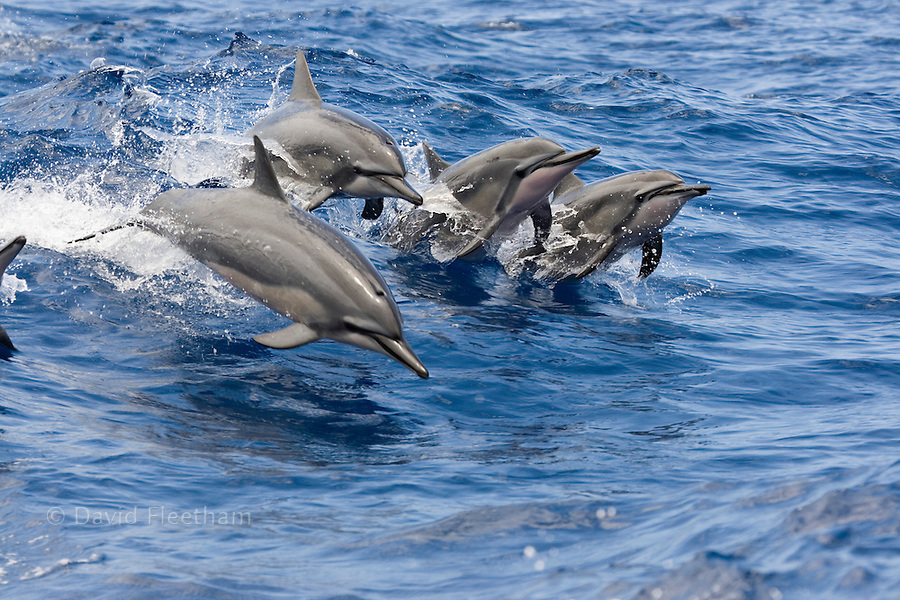 Four spinner dolphin, Stenella longirostris, leap into the air at the same time, Hawaii.