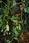 Scarlet macaw, Tambopata region, Peru