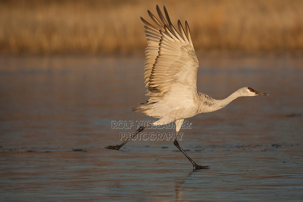 Sandhill Crane (Grus canadensis) adult taking off, Bosque del Apache National Wildlife Refuge , New Mexico, USA