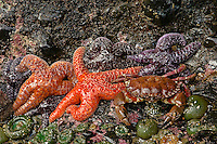 Rock Crab (Cancer antennarius) with Ochre Sea Stars and green anemone at low tide, Pacific Ocean coastline, Oregon.