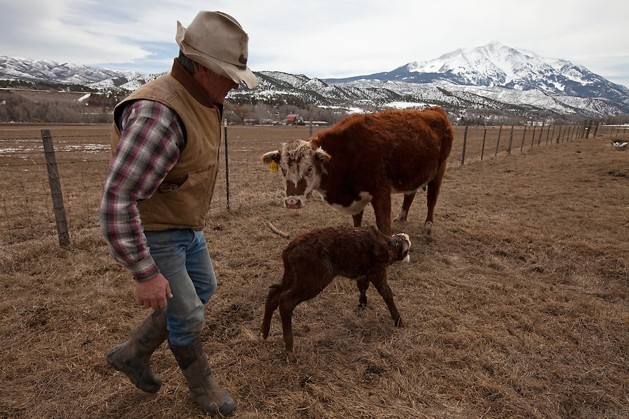 A newborn calf is cared for by its mother on Bill Fales' ranch. Fales, owner of Cold Mountain Ranch in Carbondale, Colorado, has been ranching his sliver of land in the Roaring Fork Valley since 1973. <br /> <br /> Development, oil and gas extraction, and mechanized recreation all threaten the valley--and his livelihood. Not surprisingly, Fales is a proponent of conservation, having placed his property in a land trust in perpetuity. He is also in favor of the expansion of wilderness designation within his and adjoining counties. <br /> <br /> Ranching in Colorado would, arguably, not exist without the use of public lands. Fales' ranch is no different. In order to give his animals the space they need in the summer--and the pasture grasses on his ranch property the time they need to grow high in order to feed his cattle come winter--he must graze on public land. That means securing grazing permits on BLM and U.S. Forest Service land. But it does not preclude the use of wilderness lands either.<br /> <br /> Unknown to much of the public, wilderness areas can serve as grazing lands under the Wilderness Act of 1964. In fact, Fales grazes on Maroon Bells-Snowmass Wilderness area; another permit area is being considered for wilderness designation. His permit would remain if the new designation came to fruition, being &quot;grandfathered&quot; in by that original Wilderness Act.