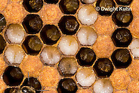 1B13-505z  Honeybee Hive, open cells containing larvae, Apis Mellifera, Race Carniolans