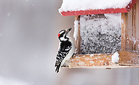 Male downy woodpecker with a sunflower seed on a frosty northwoods bird feeder.