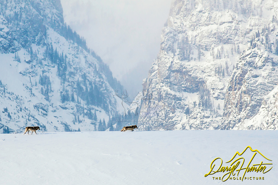 Wolves moving through the landscape in Grand Teton National Park in Jackson Hole Wyoming, Death Canyon is the landmark in the background