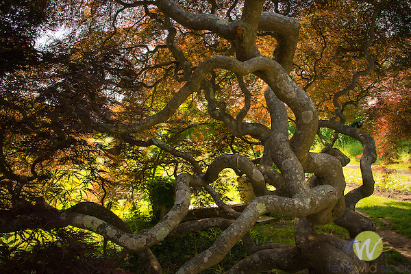 Harkness Memorial State Park. Japanese Thread Leaf Maple