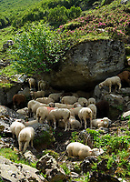 CHE, Schweiz, Kanton Bern, Berner Oberland, Schafe suchen Abkuehlung im Schatten der Felsen | CHE, Switzerland, Bern Canton, Bernese Oberland, sheep looking for cooling in shadows