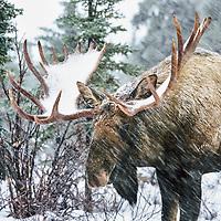 Bull moose in winter snowstorm, boreal forest, Denali National Park, Alaska.