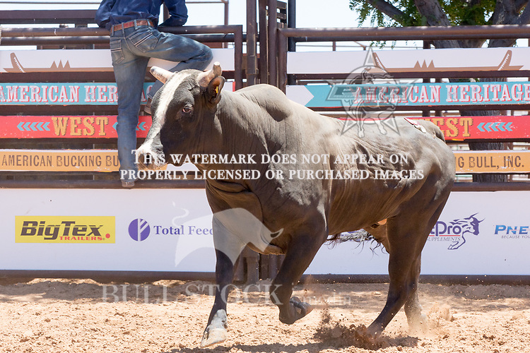 I'm Legit Too from Lance Bloyd / Cord McCoy during the AHW Futurity at the 2017 ABBI American Heritage West, Los Lunas, NM. Photo Andre Silva
