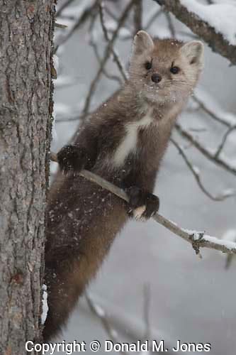 Pine Martin (Martes americana) in a pine tree, western Alberta Canada.