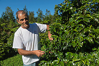France, île de la Réunion, Saint-Joseph, Grand Coude:  Domaine de Laurina, Jacques Lepinay,  producteur de Bourbon Pointu //  France, Reunion island (French overseas department), Saint Joseph, Grand Coude, Domaine de Laurina, coffee farm, Jacques Lepinay,   producer  Bourbon Pointu<br /> <br /> Auto N°: 2014-112