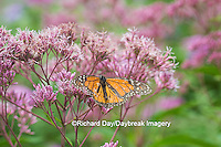 03536-05316 Monarch Butterfly (Danaus plexippus) on Joe Pye Weed (Euthrochium purpureum) Marion Co., IL