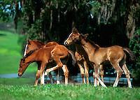 Arabian foals playing in field near stream.