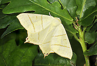 Swallow-tailed Moth Ourapteryx sambucaria Wingspan 52mm. A colourful and unmistakable moth that holds its wings spread flat at rest; can look rather butterfly-like. Adult has pale yellow wings, the forewing with an angular tip and the hindwing with a short tail streamer. Both wings are marked with brown cross lines, and the hindwing is fringed brown. Flies June–July. Larva feeds on Ivy, Hawthorn and other shrubs. Widespread and locally common in southern and central Britain.