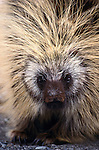 Porcupines live in the willow thickets that line arctic rivers.