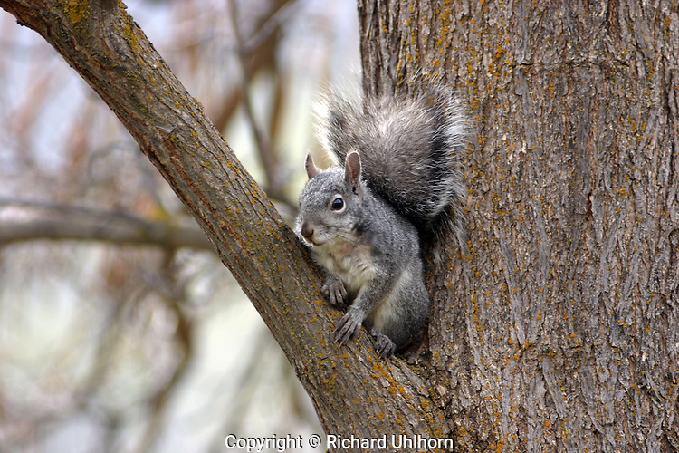 Western gray squirrel (Sciurus griseus).