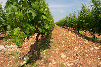 Vines. Vineyard. Biblia Chora Winery, Kokkinohori, Kavala, Macedonia, Greece