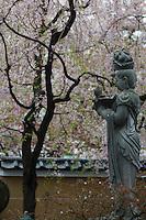 Cherry Blossom at Araiyakushi Baishoin temple near Araiyakushimae station on seibu Shinjuku line in Nakano, Tokyo