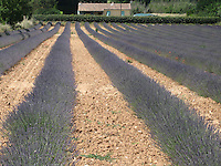Lavender Mas (farm in French) and cottage, Provence, France