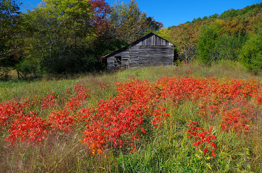Colorful sumac by old barn near Pencil Bluff, Arkansas