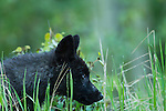 A black colored wolf pup peers through the grass.  This pup and his siblings are approximately eleven weeks old, and they live in Banff National Park, Alberta, Canada.