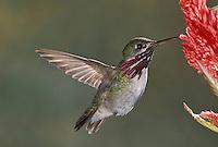 Calliope Hummingbird - Stellula calliope - Adult male