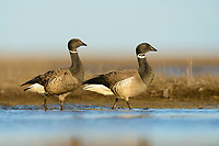 Pair of Brant (Branta bernicla). Yukon Delta National Wildlife Refuge, Alaska. June.