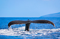 humpback whale, Megaptera novaeangliae, fluke, Maui, Hawaii, USA, Pacific Ocean