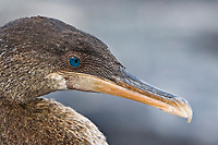 flightless cormorant, or Galapagos cormorant, Phalacrocorax harrisi, endemic species which has lost the ability to fly as there are no predators in the islands to prey on it, Galapagos Islands, Ecuador. This Galapagos endemic cormorant, bird,.