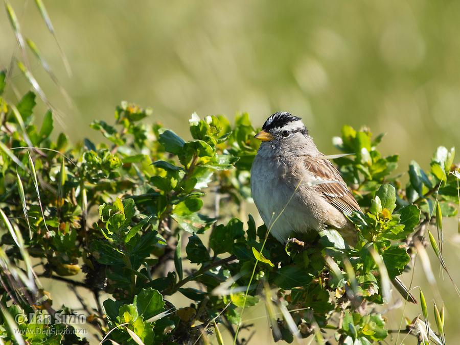 White-crowned Sparrow, Zonotrichia leucophrys, at Cesar Chavez Park, Berkeley, California