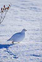 Willow Ptarmigan in white plumage, snow covered tundra, Arctic, Alaska.