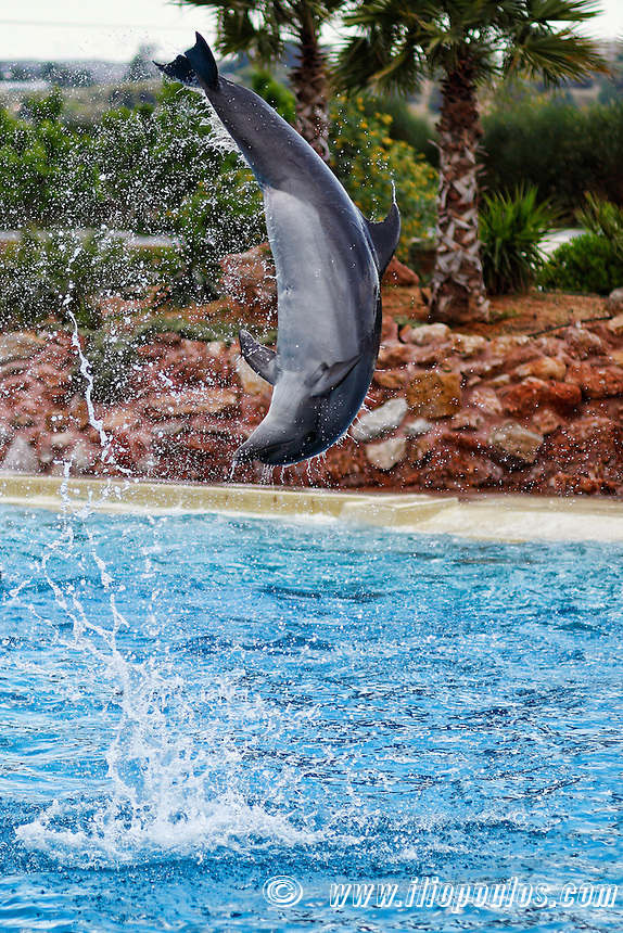 Dolphins jumping in an aquarium