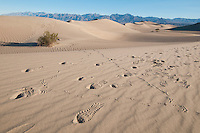 Tracks of a common raven, Corvus corax, and footprints of hikers on the Mesquite Flat sand dunes, Death Valley National Park, California